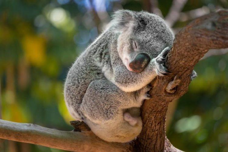 zhivotnyye zhili ran'she lyudey_koala